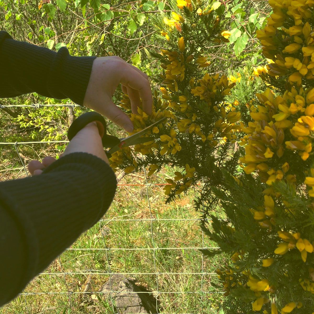 Foraging gorse