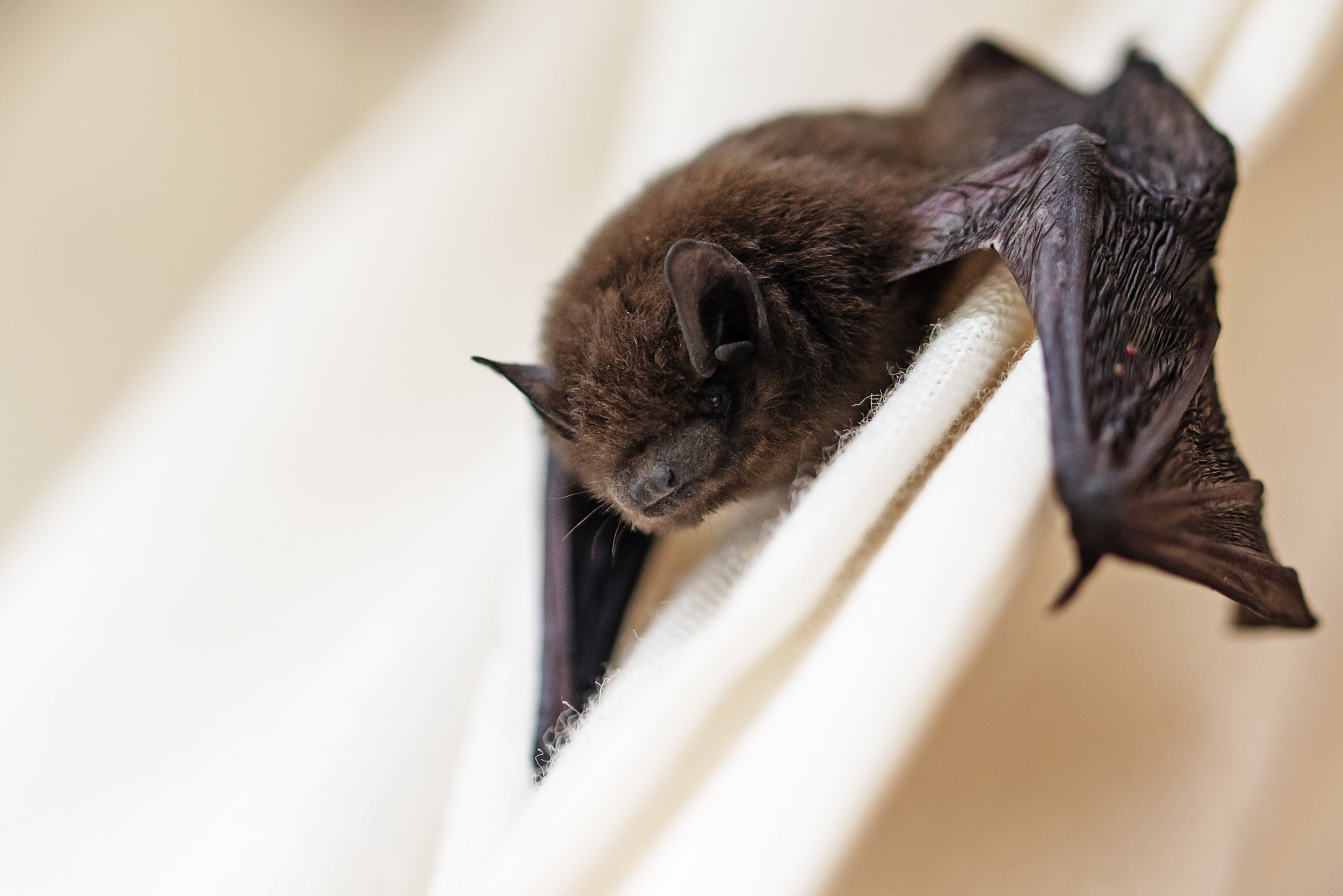 bat_on_curtain.jpg