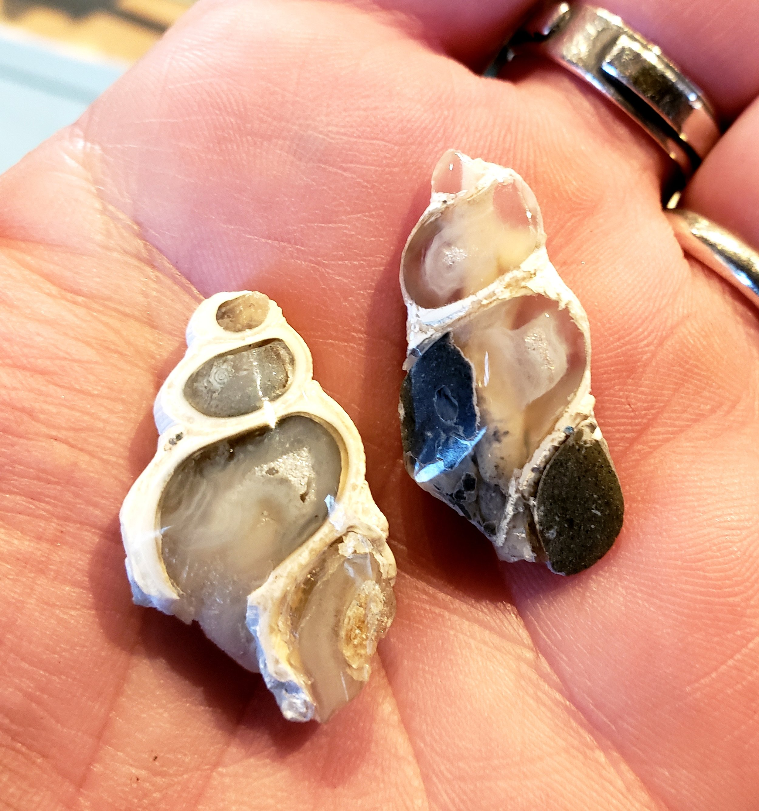 Faced and Polished Agate Fossil Shells from the Central Oregon Coast