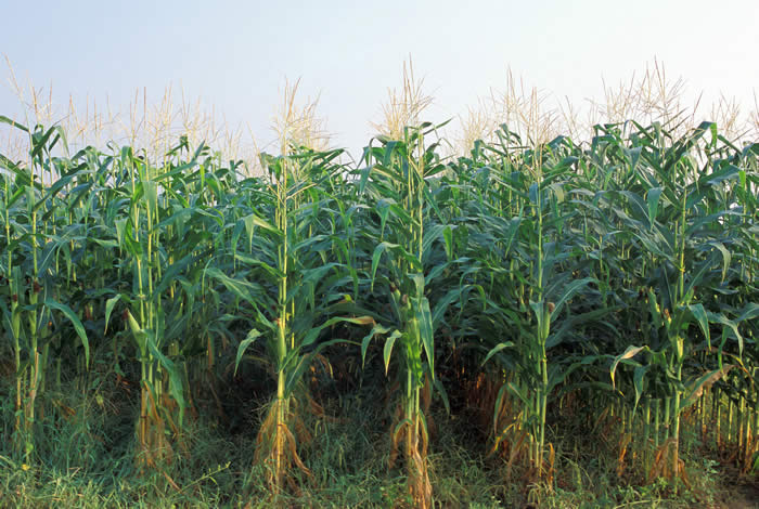 Roughly 85% of all corn currently planted in the U.S is glyphosate-resistant. (Beyond Pesticides)
