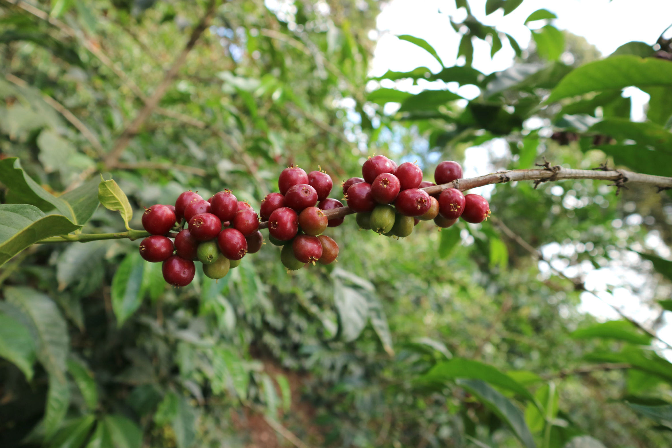 Current Offerings - Fresh Harvest Coffees | Available Now