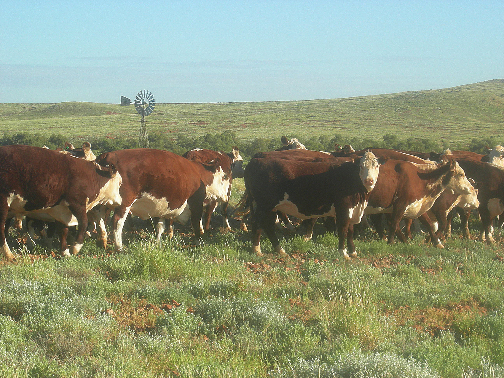 Cattle: Mt Barry Station