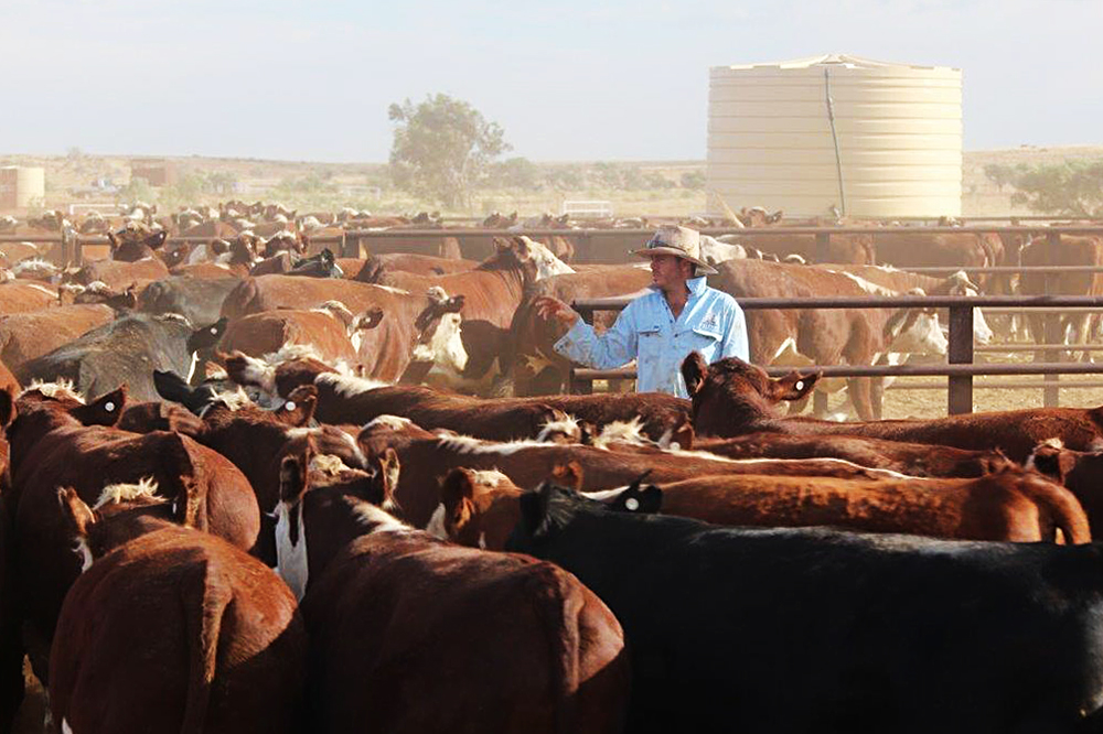 Cameron Williams counting sale cattle: Mt Sarah Station