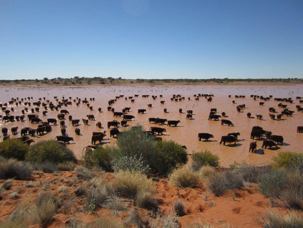 Cattle watering in a clay pan: Mt Sarah Station