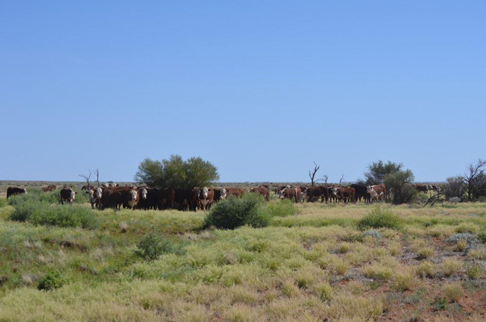 Cattle on The Peake Station