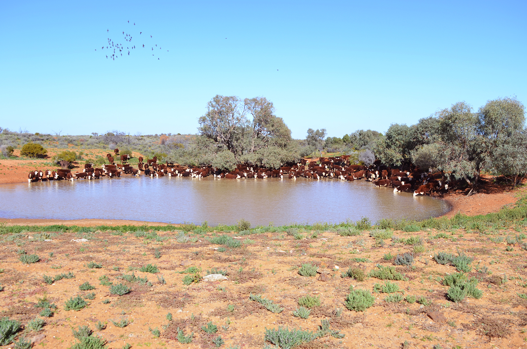 Cattle drinking at Renae's Bank, Nilpinna