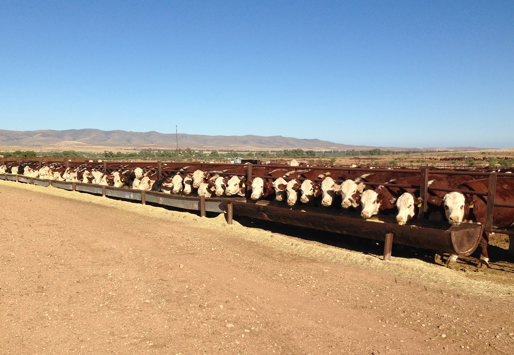 Feed time in the feedlot