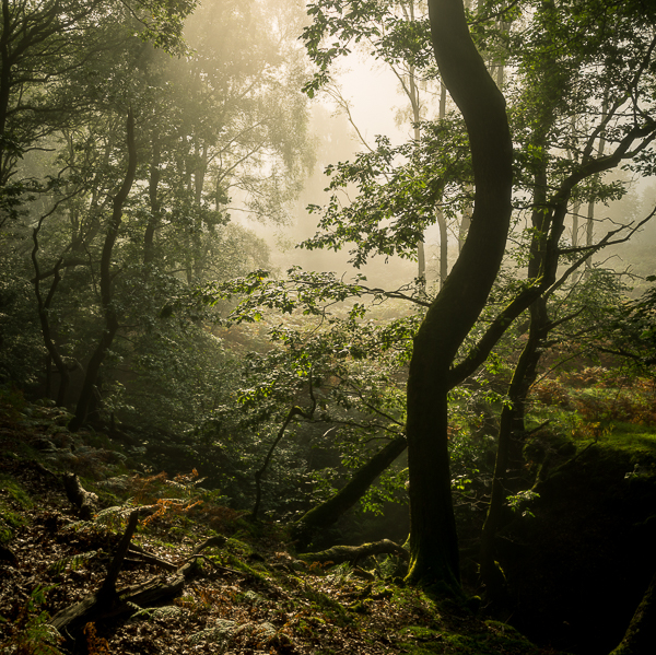 Finding woodland on the edge of mist and facing the light is always special. Misty, eerie shots can be stunning as well, but there's nothing quite like a warm light breaking through the fog.