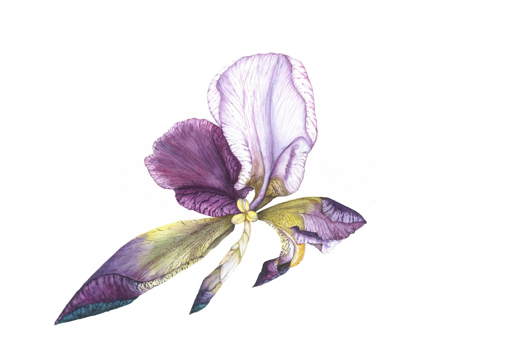 Iris Fly, 2013