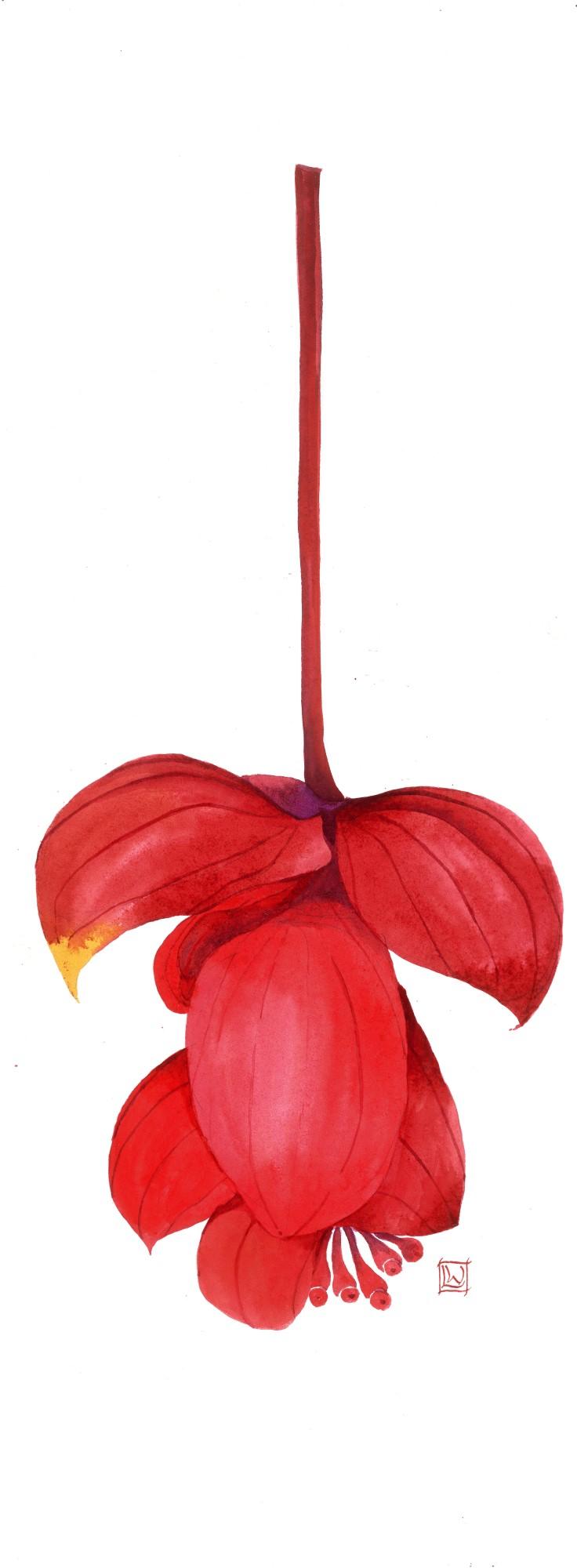 Medinilla magnifica III.jpg