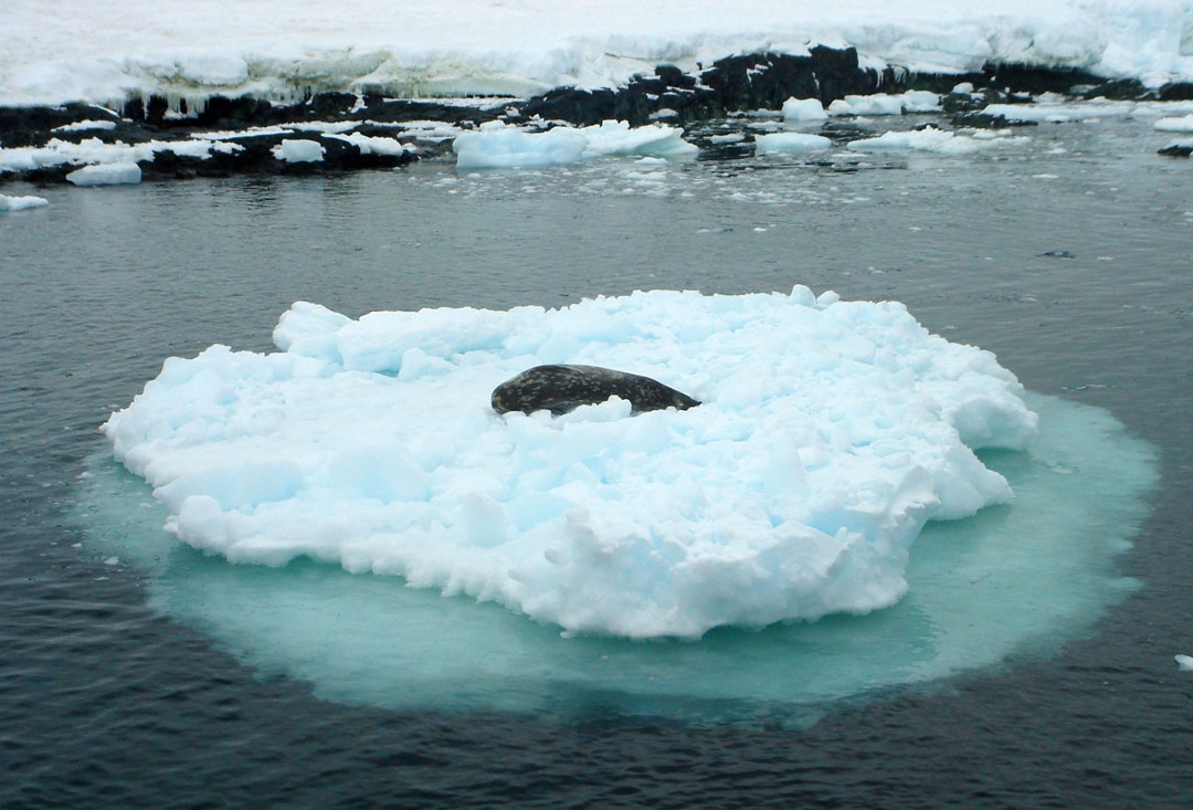 A seal on an ice chunk floating off of   Detaille Island  ,  a small island off of Graham Land in Antarctica.   Photo by Kim Michele
