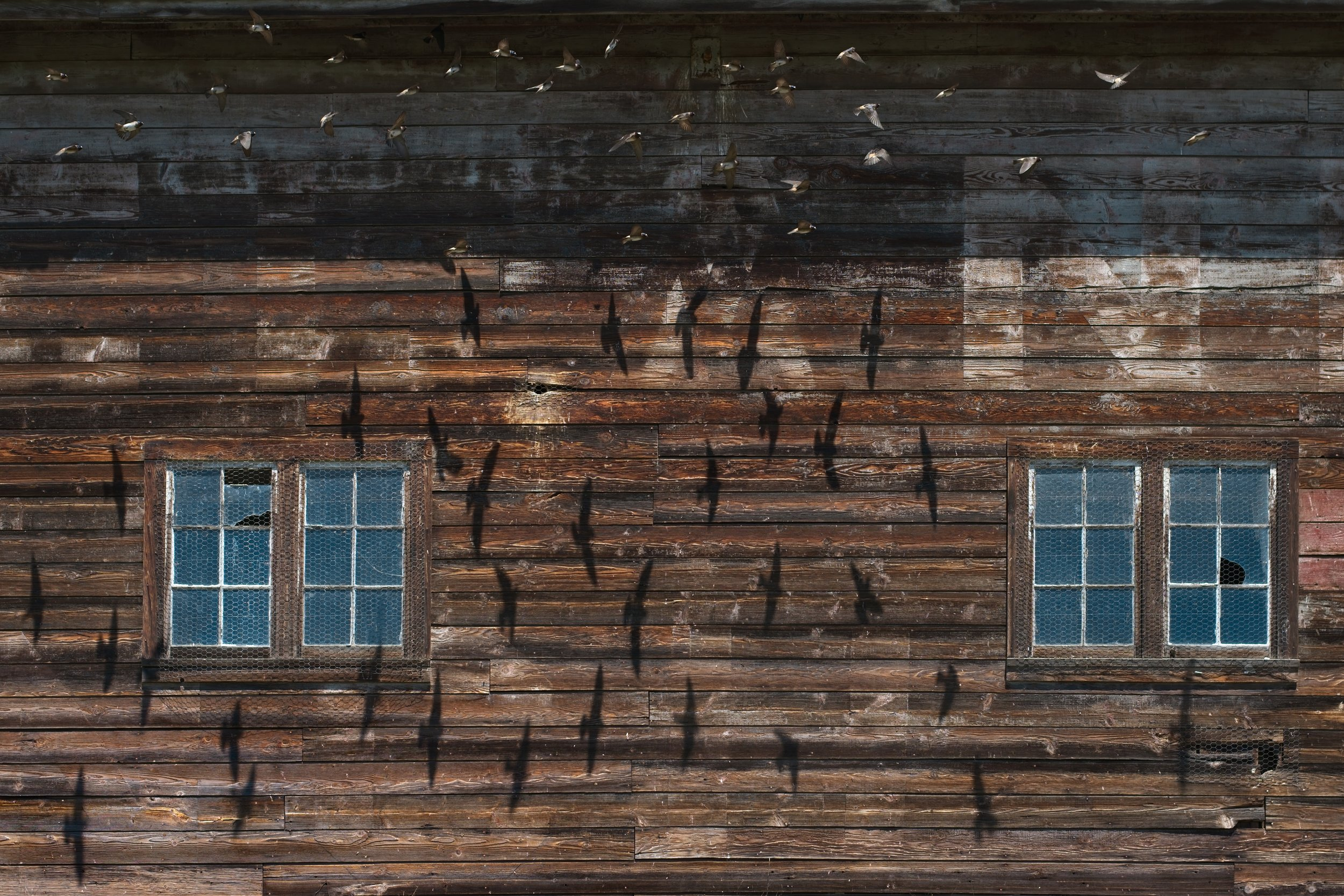 On a road trip to Klickitat County last month, Chan and I drove past this road side barn around noon just outside of Trout Lake, Washington. It was hard to miss the large, darting shadows of the many cliff swallows – sometimes 15 or more at a time - that animated the barn wall. It was a unique and thrilling sight!  Chan patiently sat in the hot car for 20 minutes as I tried to get a good picture, but when I got home, I was disappointed with the results. I had shot it at too slow a shutter speed and should have used my tripod.  So, the following week, I drove the 90 miles back out to the barn, waited for the mid-day sun to be in the right position again for the swallows to cast shadows, setup my tripod and sat under a camouflage burlap cover-up for an hour and a half, shooting over 200 shots.  The swallows threw shadows only when they flew about 2-3 feet from the wall and only at mid-day. They also came-and-went, with long periods of sometimes only a single bird or no birds at all.  This is the hardest I've worked for a photo in a long time, but it sure was fun.