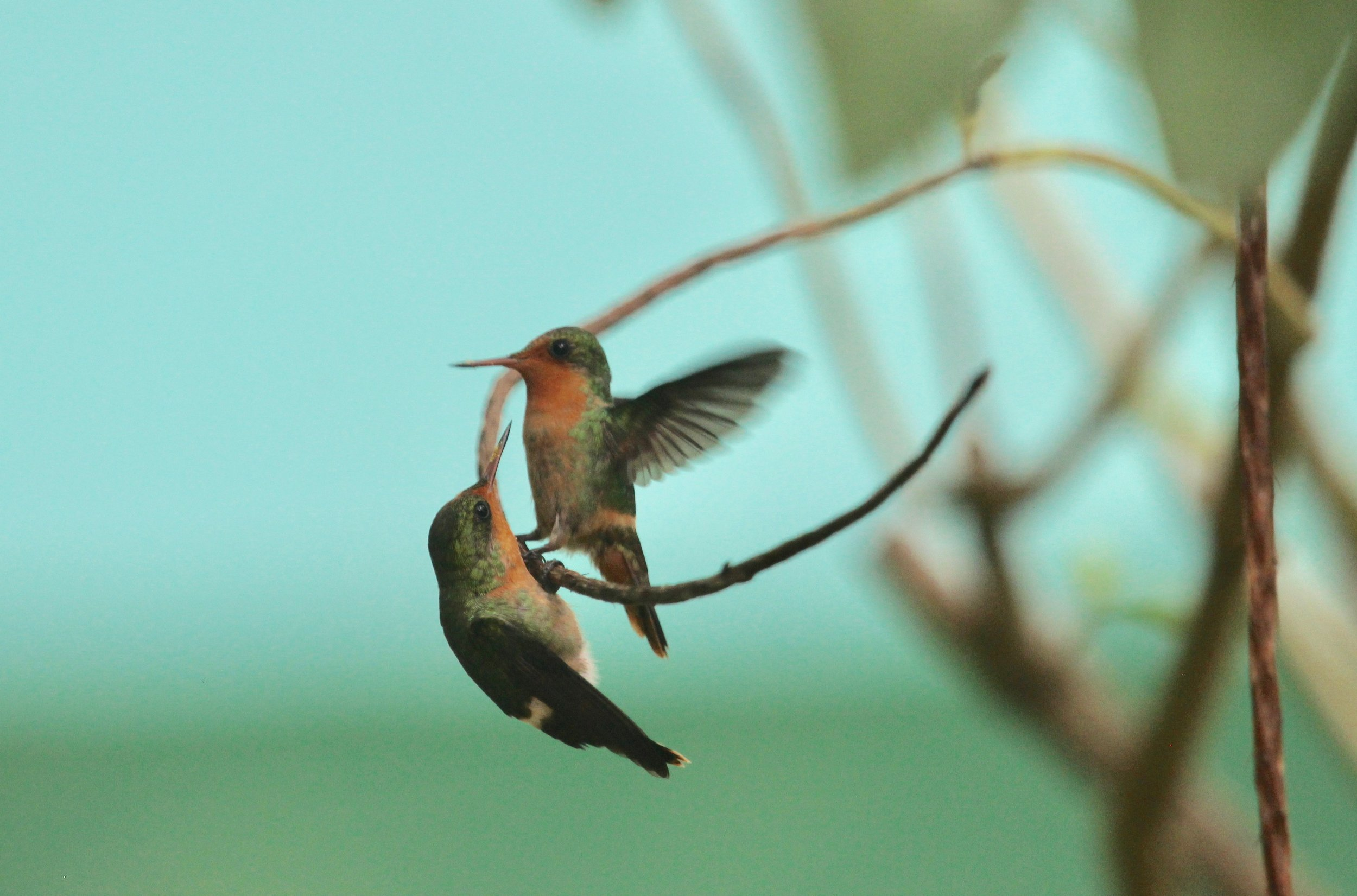 Tufted Coquettes, are the 2nd smallest hummingbirds in the world. This is a mother and juvenile, Asa Wright Nature Center, Trinidad