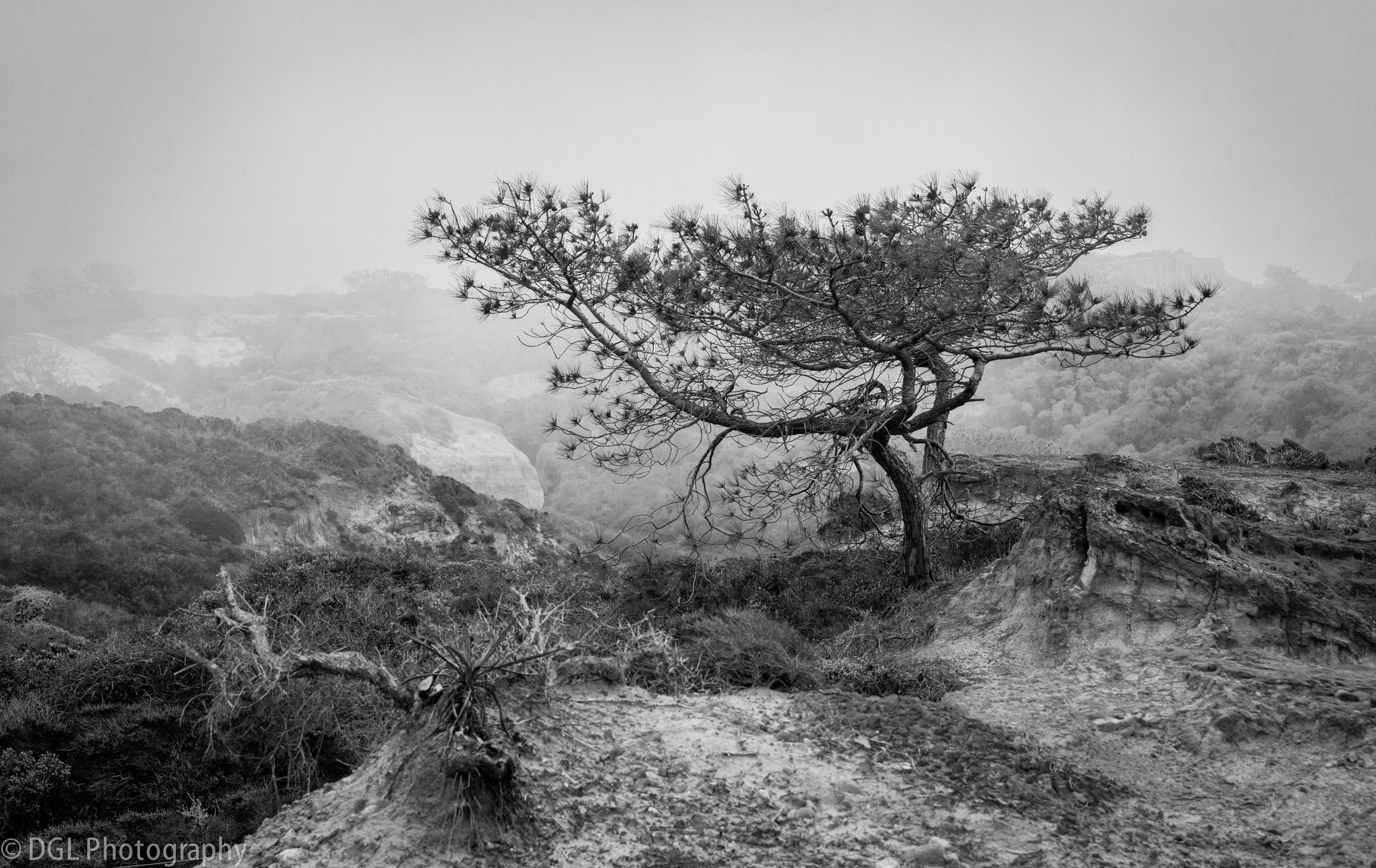 Lonely Tree (Torrey Pines)