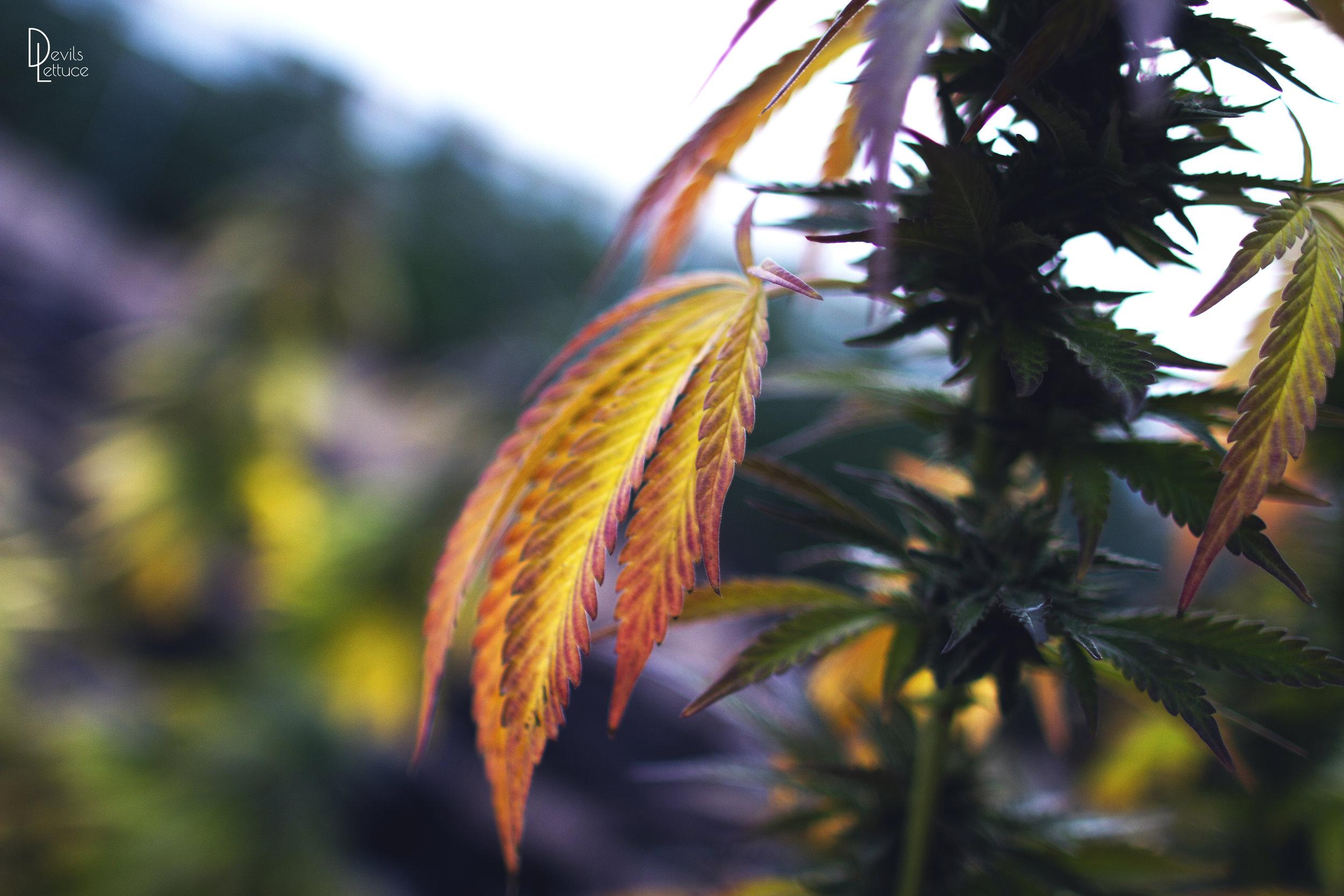Goldleaf premium cannabis brand