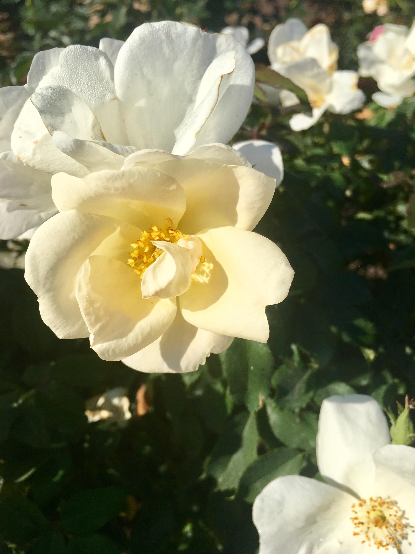 Rose Garden (2).jpg