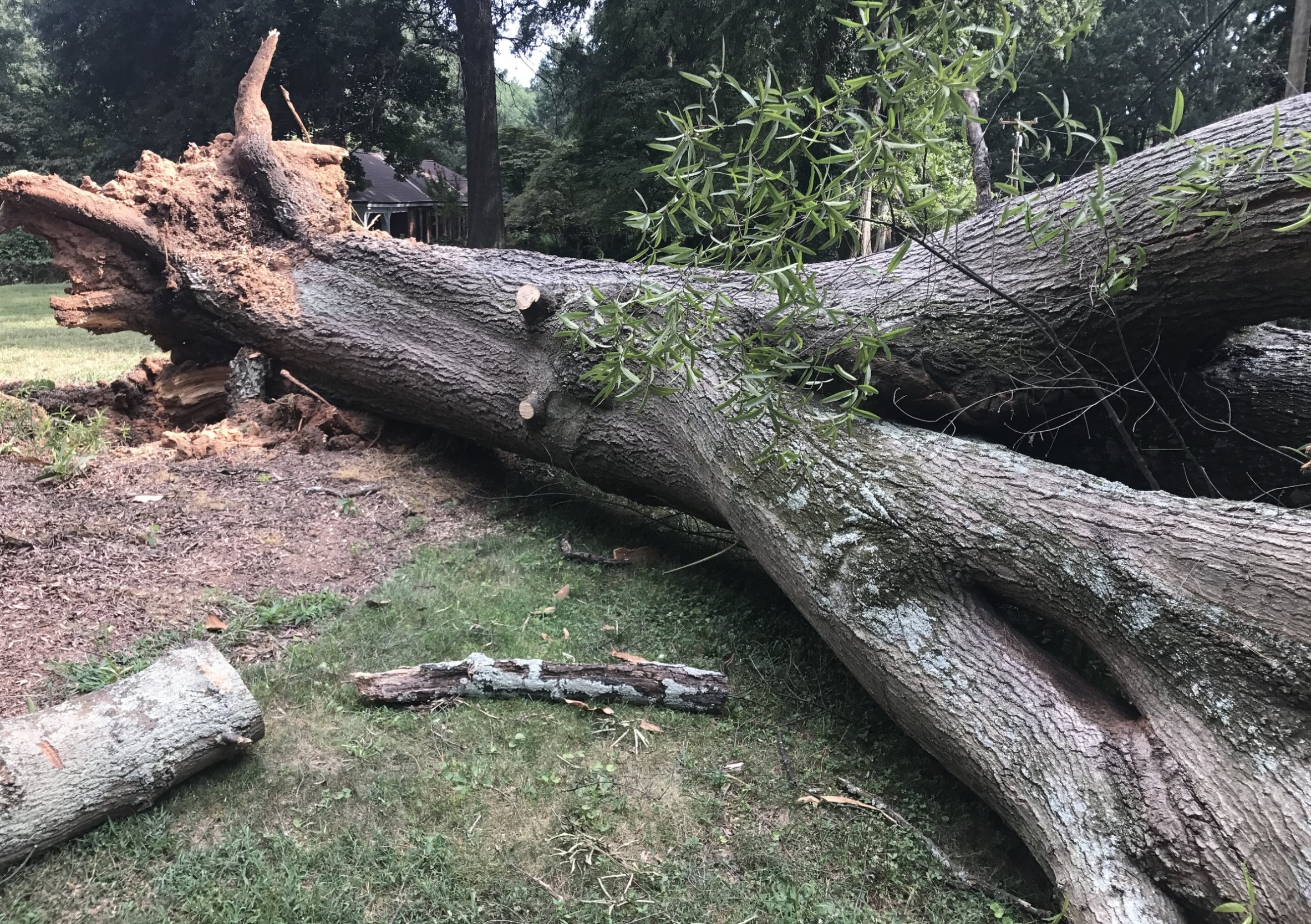 Copy of Copy of Buena Vista Salvaged Tree
