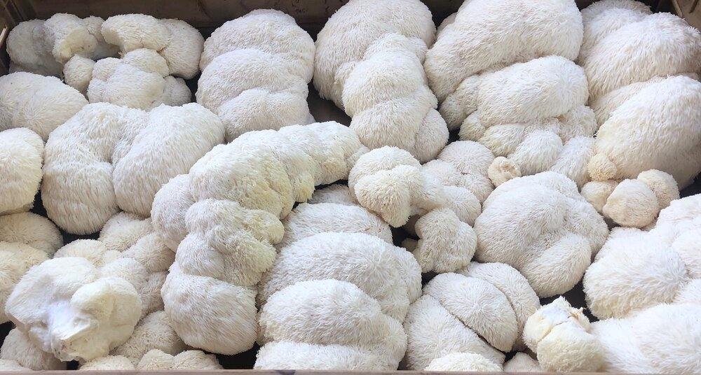 heritage harvest farms -- Lion's Mane Mushroom - Local Home Delivery or  Preorder Pickup ONLY