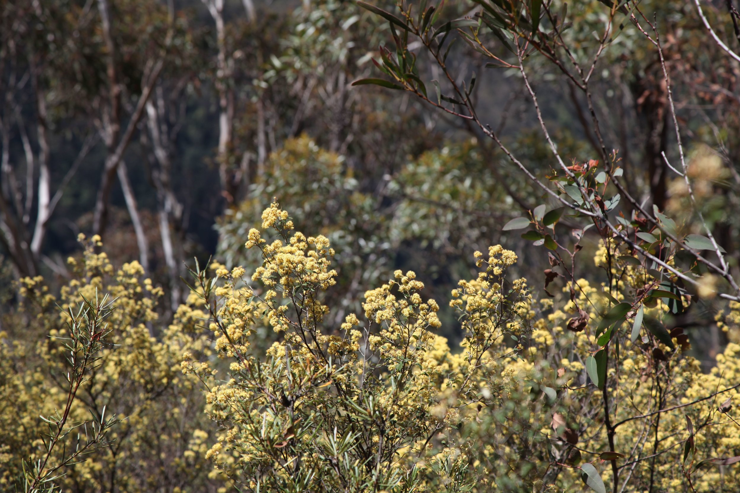 The Cliff Top track runs from Govetts Leap to Evan's Lookout in the Blue Mountains at Blackheath.