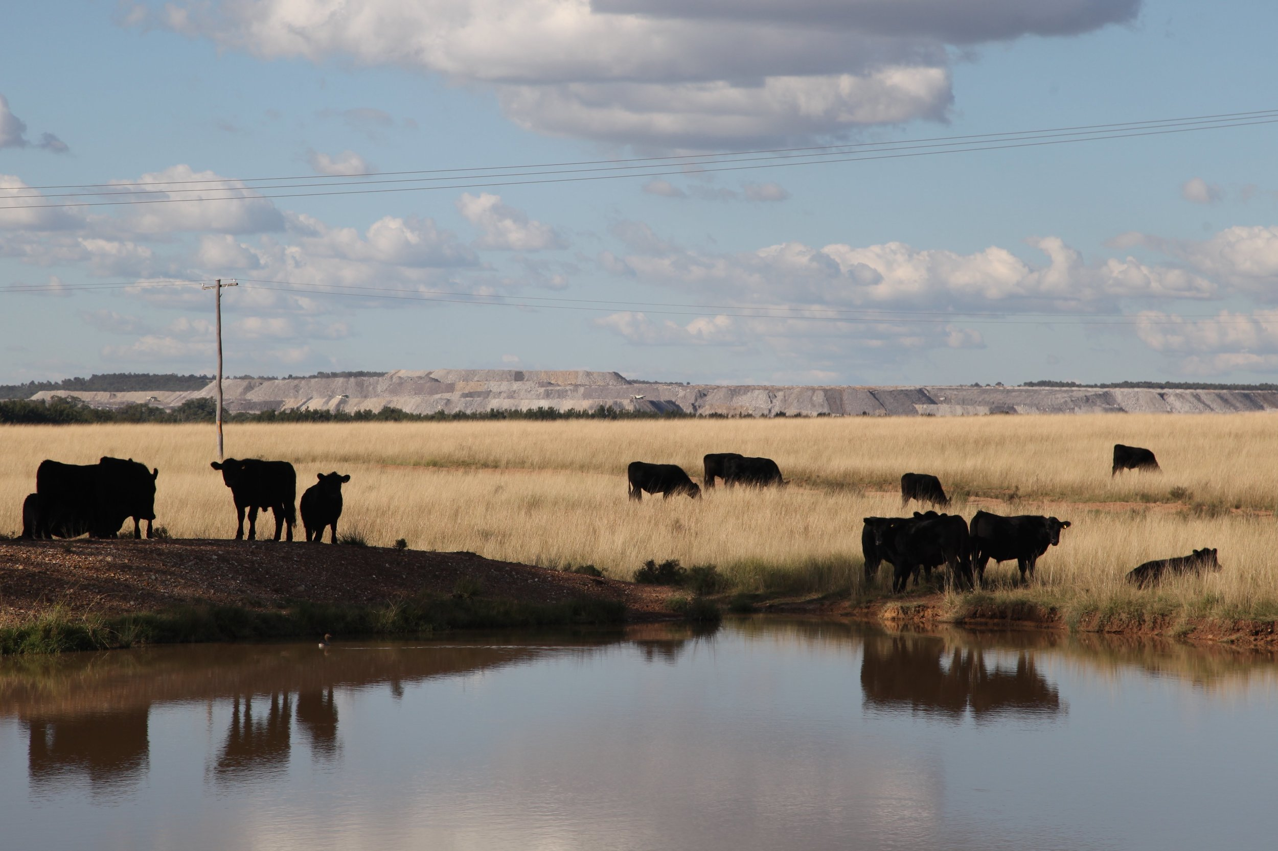 cows-coal.jpg