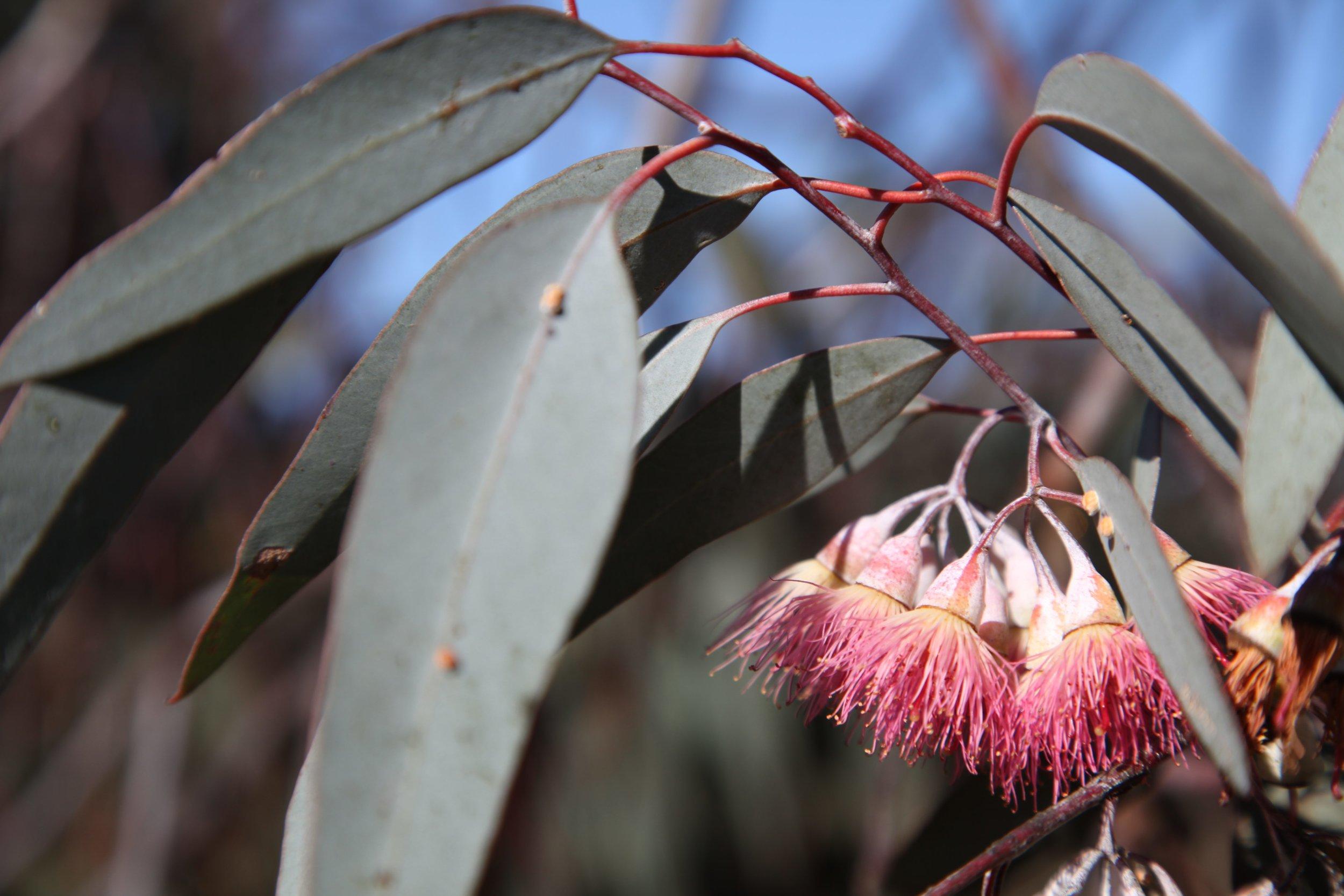 eucalyptus-liverpool-plains.jpg