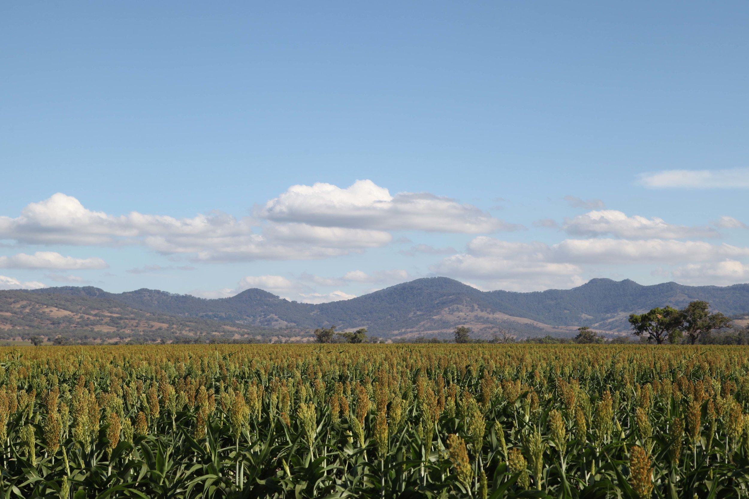 A sorghum crop.