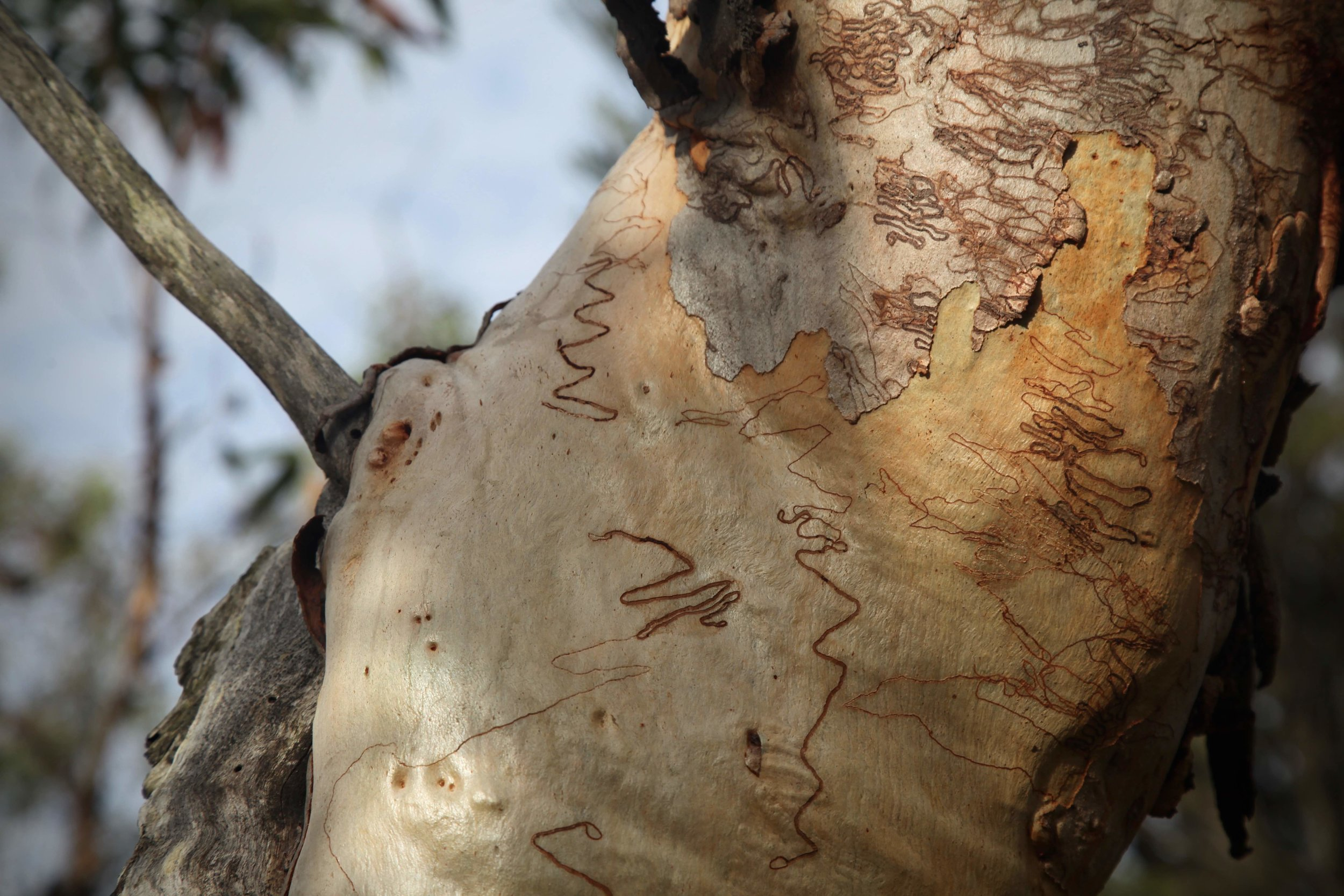 Scribbly gum trees are everywhere on the Karloo and Uloola tracks through Royal National Park between Heathcote and Waterfall.