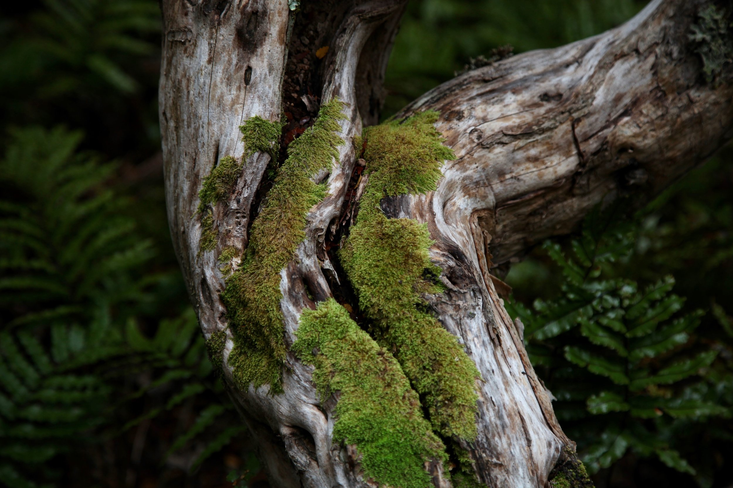 tree-moss-mt-cook-np.jpg