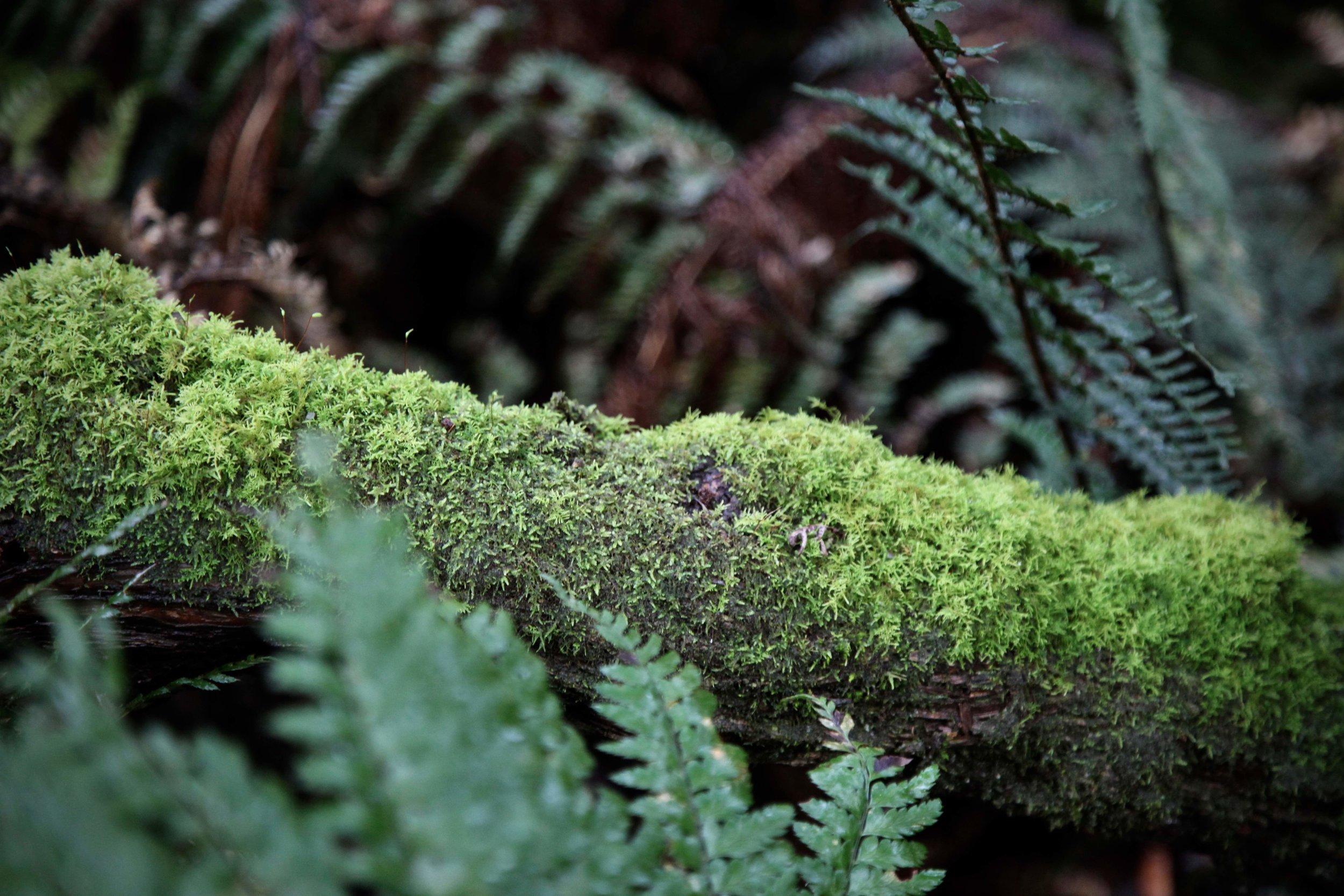 dandenong-ranges-mossy-log.jpg