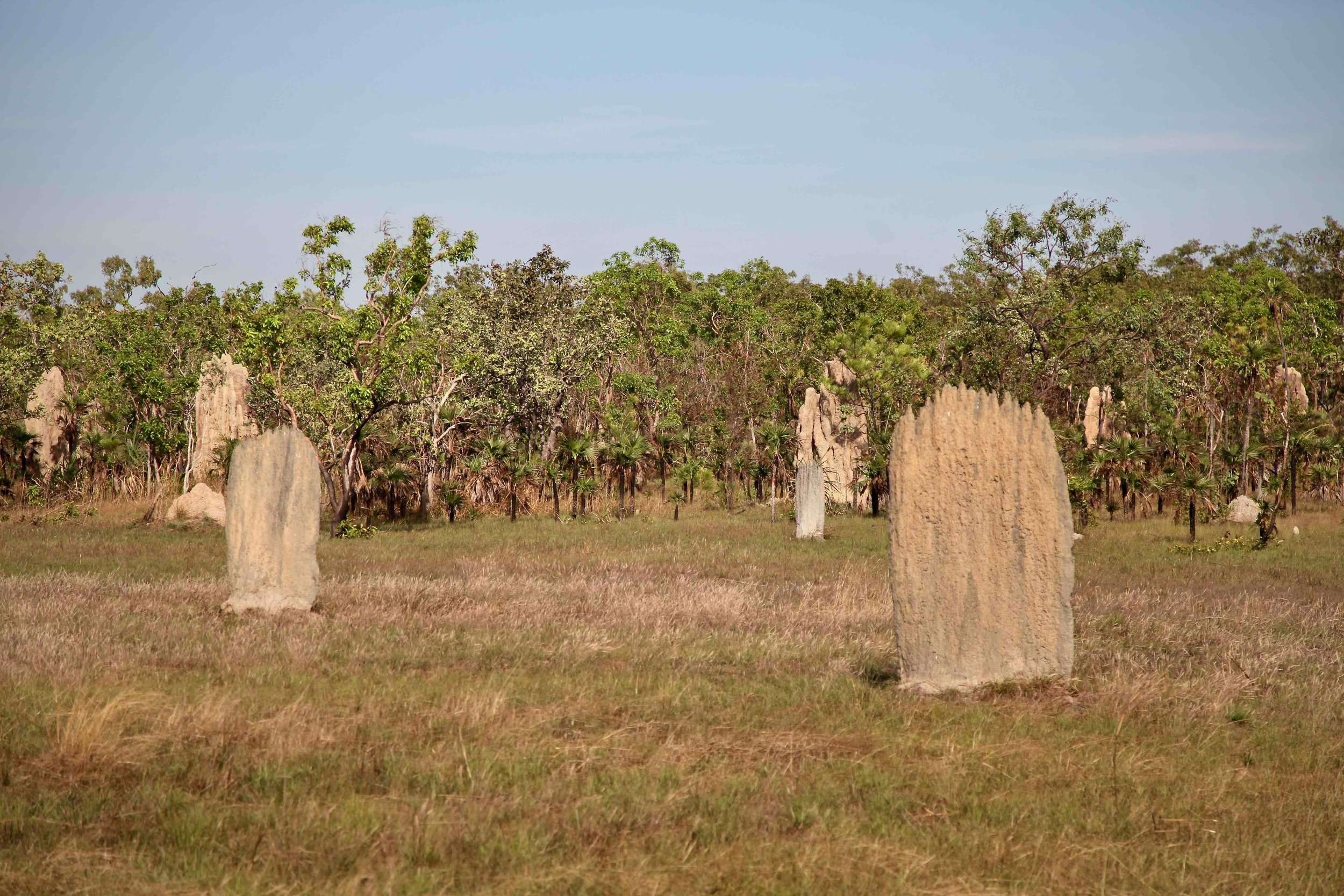 Another kind of termite mound in Litchfield National Park: the mounds of the  magnetic termite , found nowhere else on earth, align on a north-south axis.