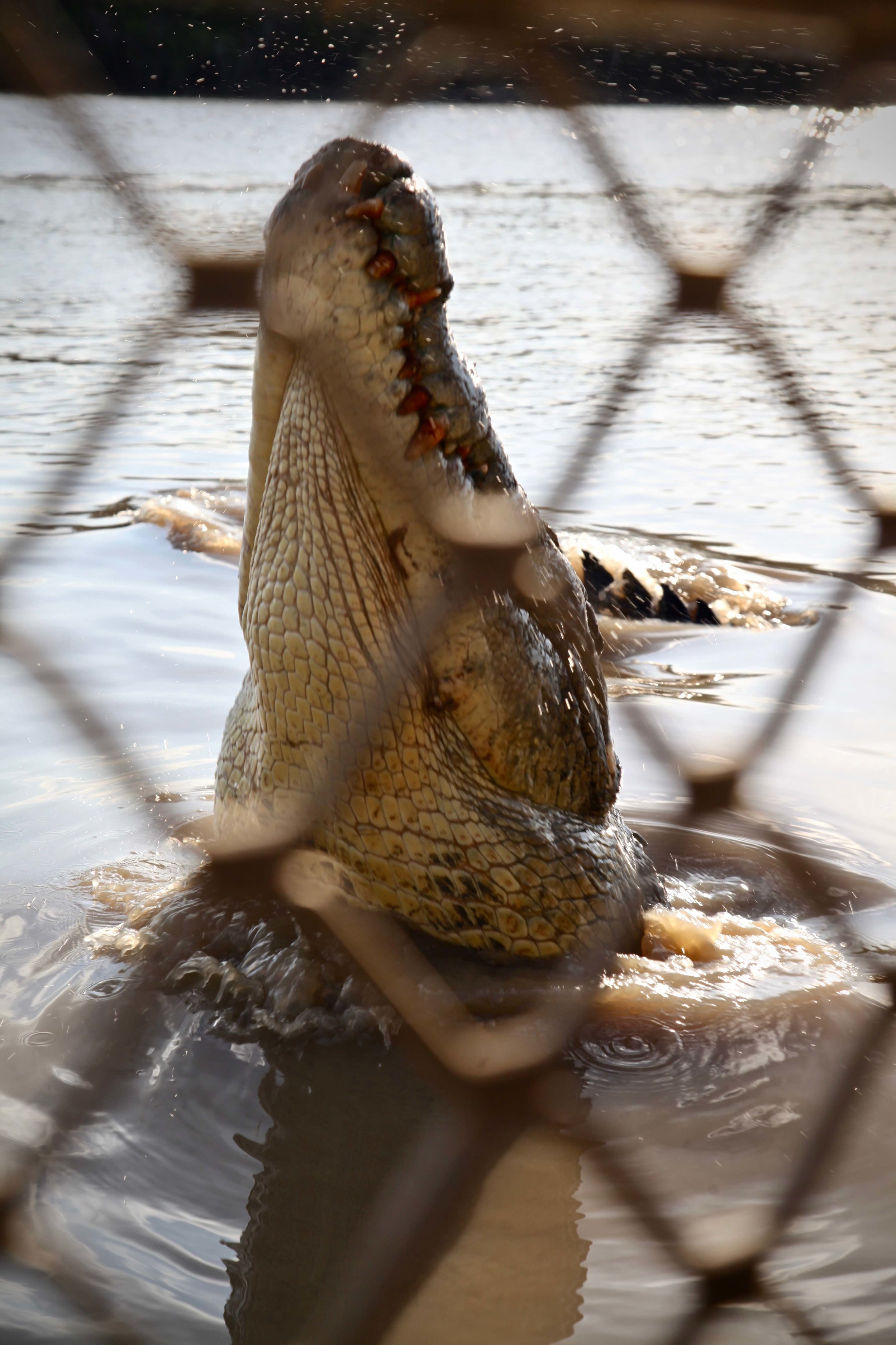 Crocodile on the Adelaide River in the Northern Territory.