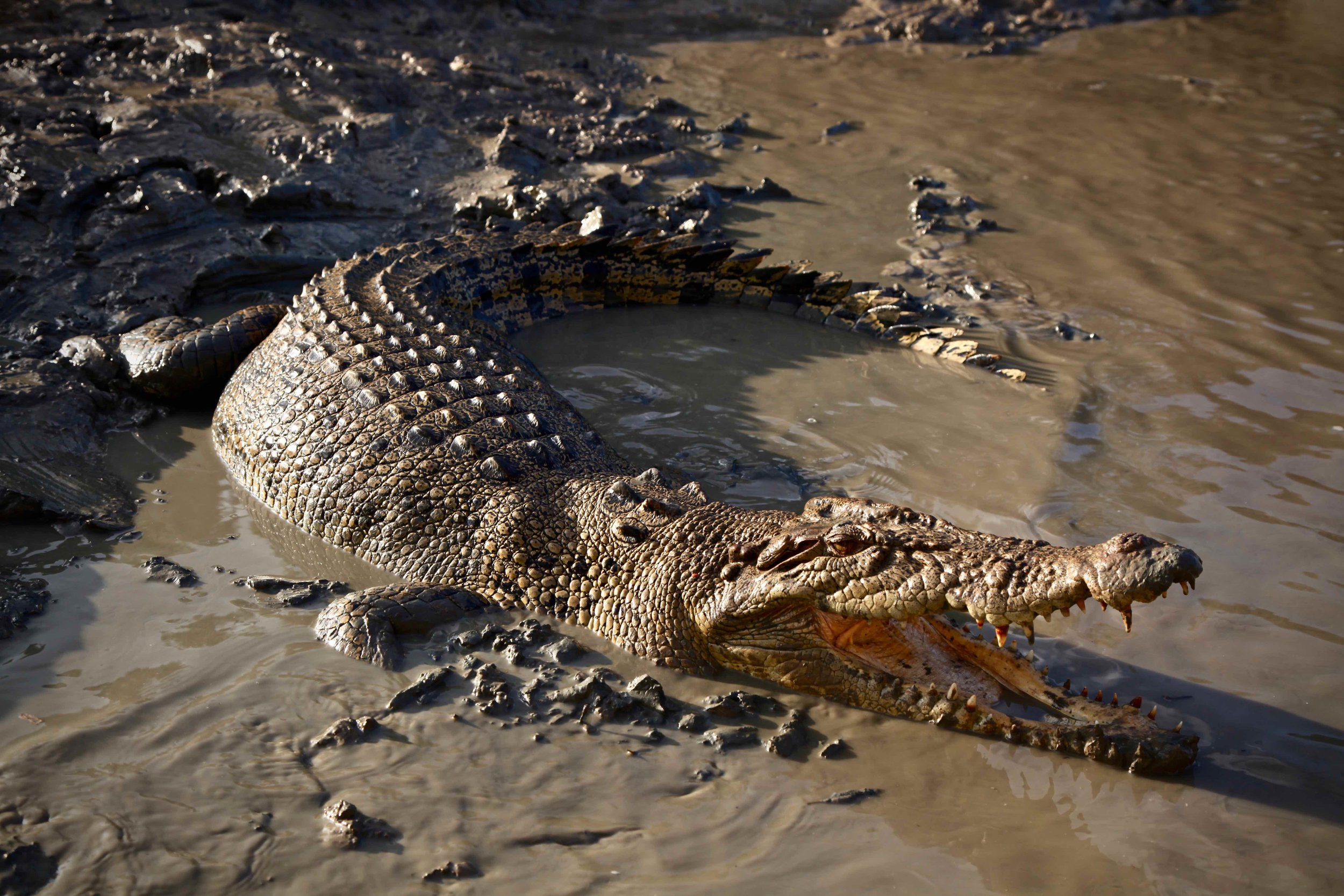 Crocodile on the Adelaide River in the Northern Territory — this was one of the small ones.