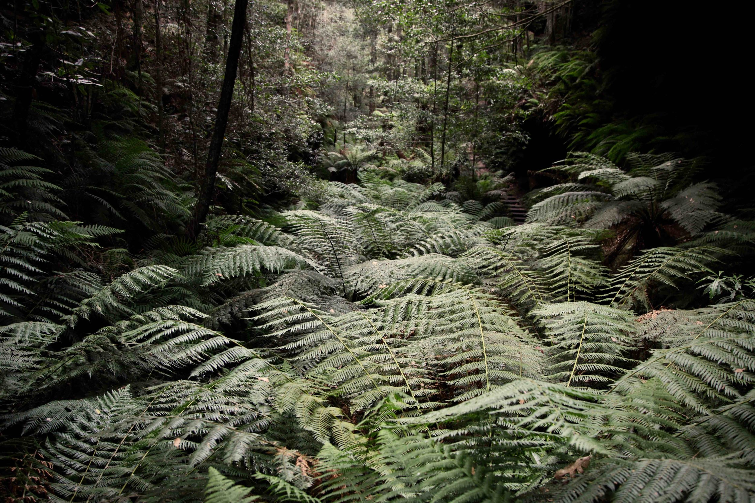 """The Grand Canyon track: Blackheath's own fern foray —   """"I start to think among the plants"""""""
