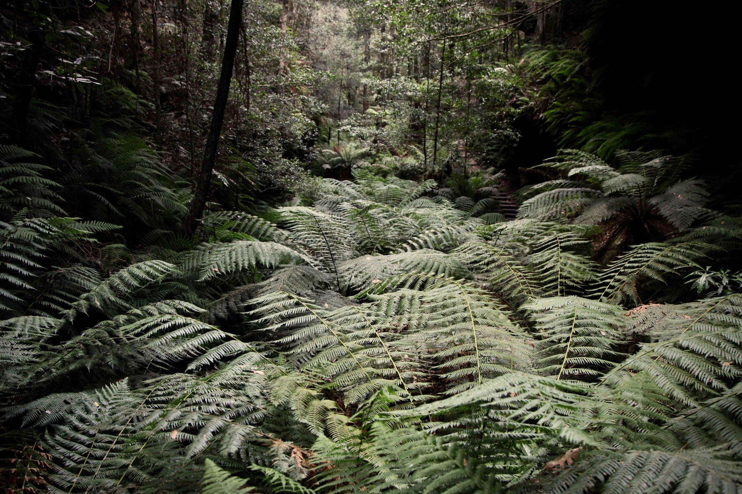 ferns-grand-canyon-blackheath.jpg