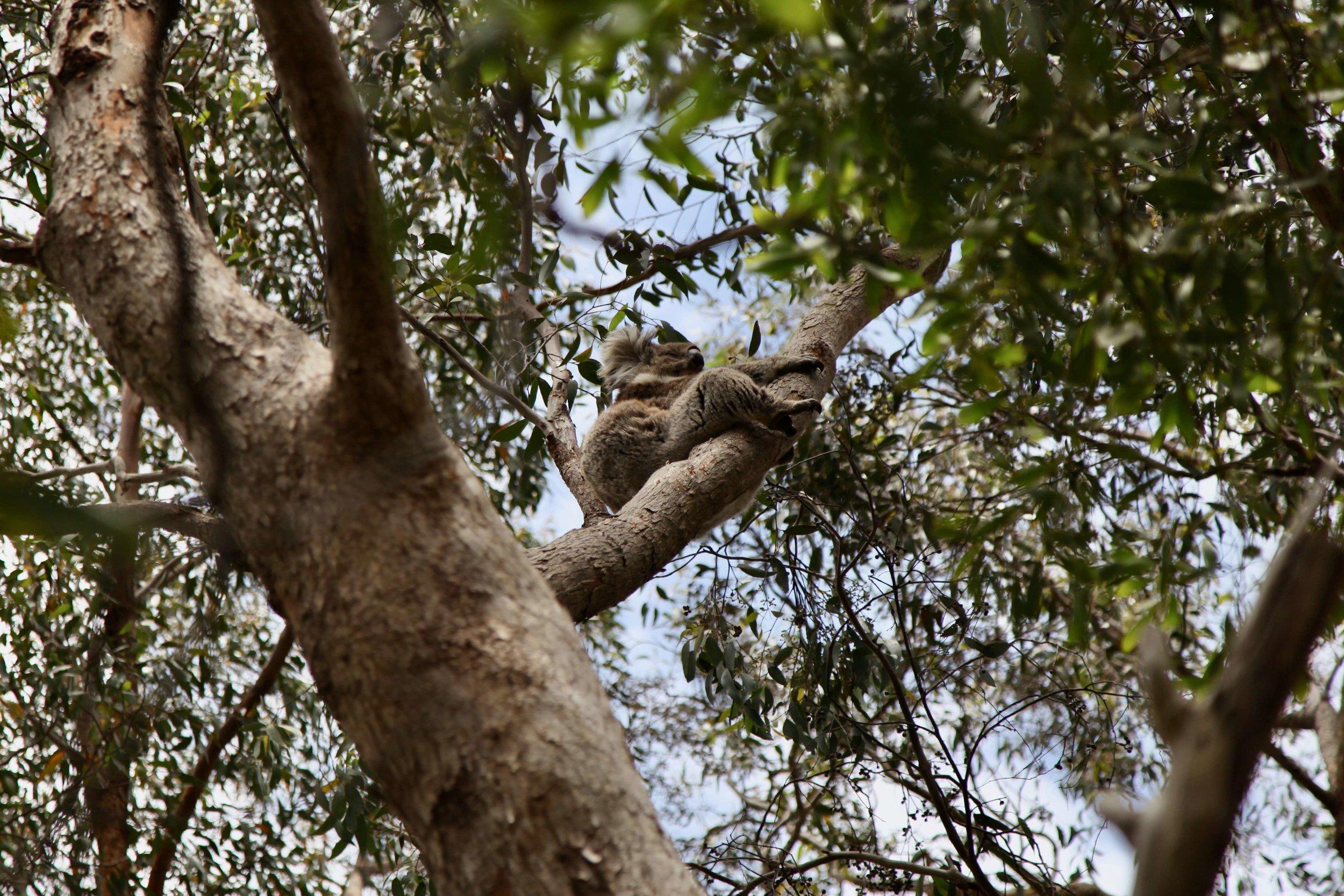 Koala in the trees on Mount Lofty near the summit.