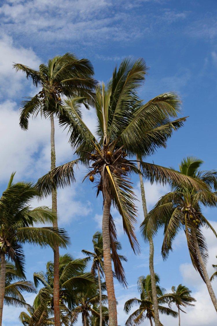 Palm trees, Tonga