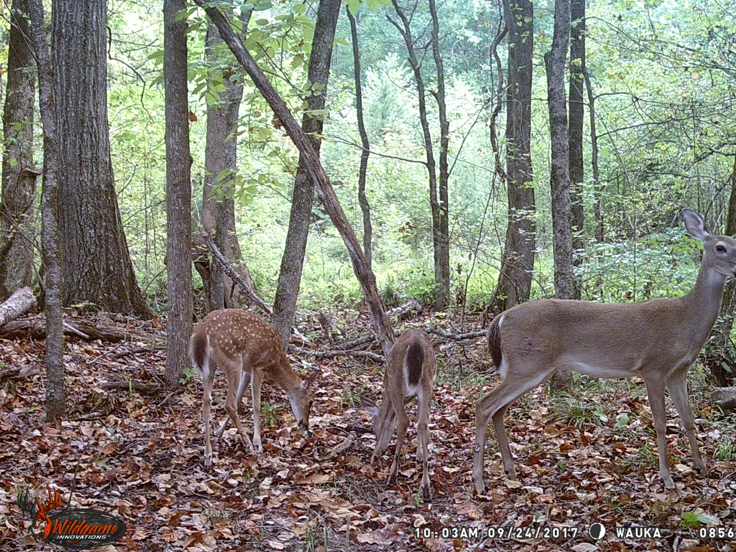 Doe + 2 Fawns.JPG