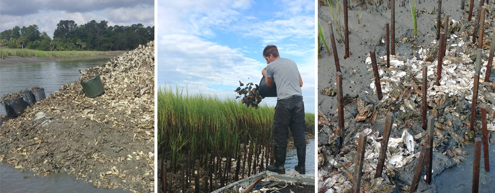 From Left: Congested oysters are relocated to promote new bed growth; Tomato sticks, dead shell and relayed live oysters all planted together.     +++ Click image to enlarge