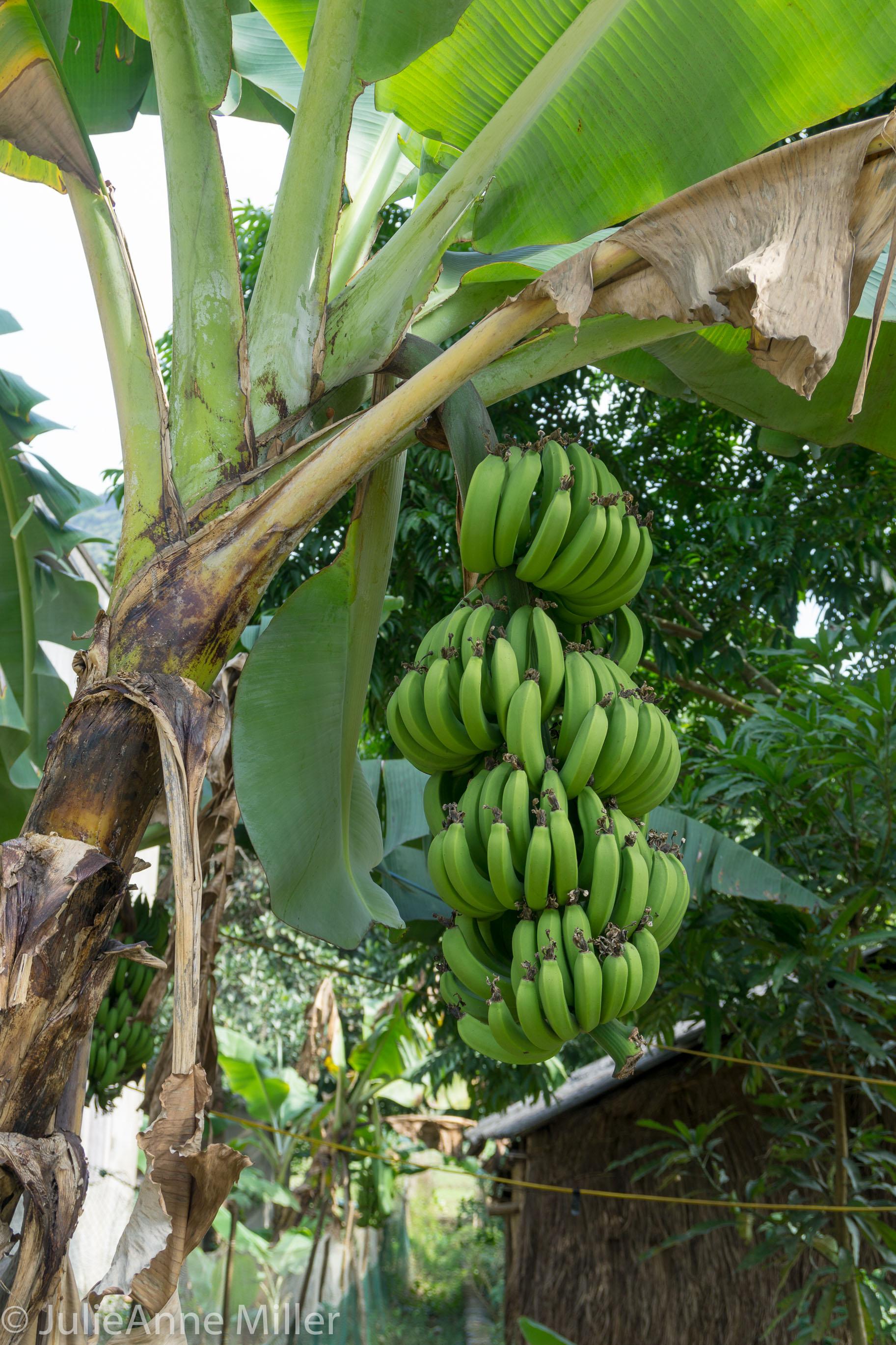 bananas in Viet Hai