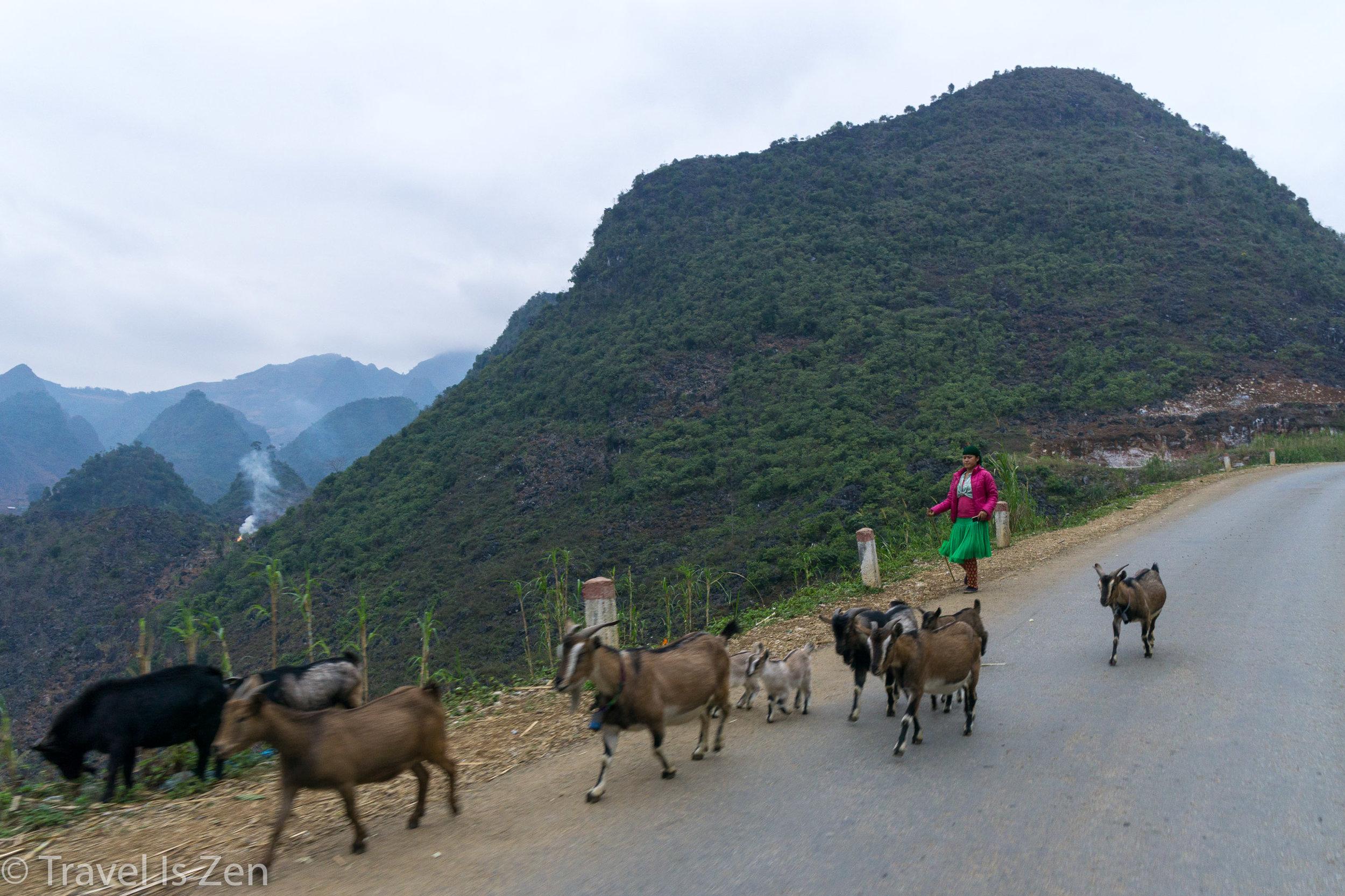 goat herder, Ha Giang Vietnam