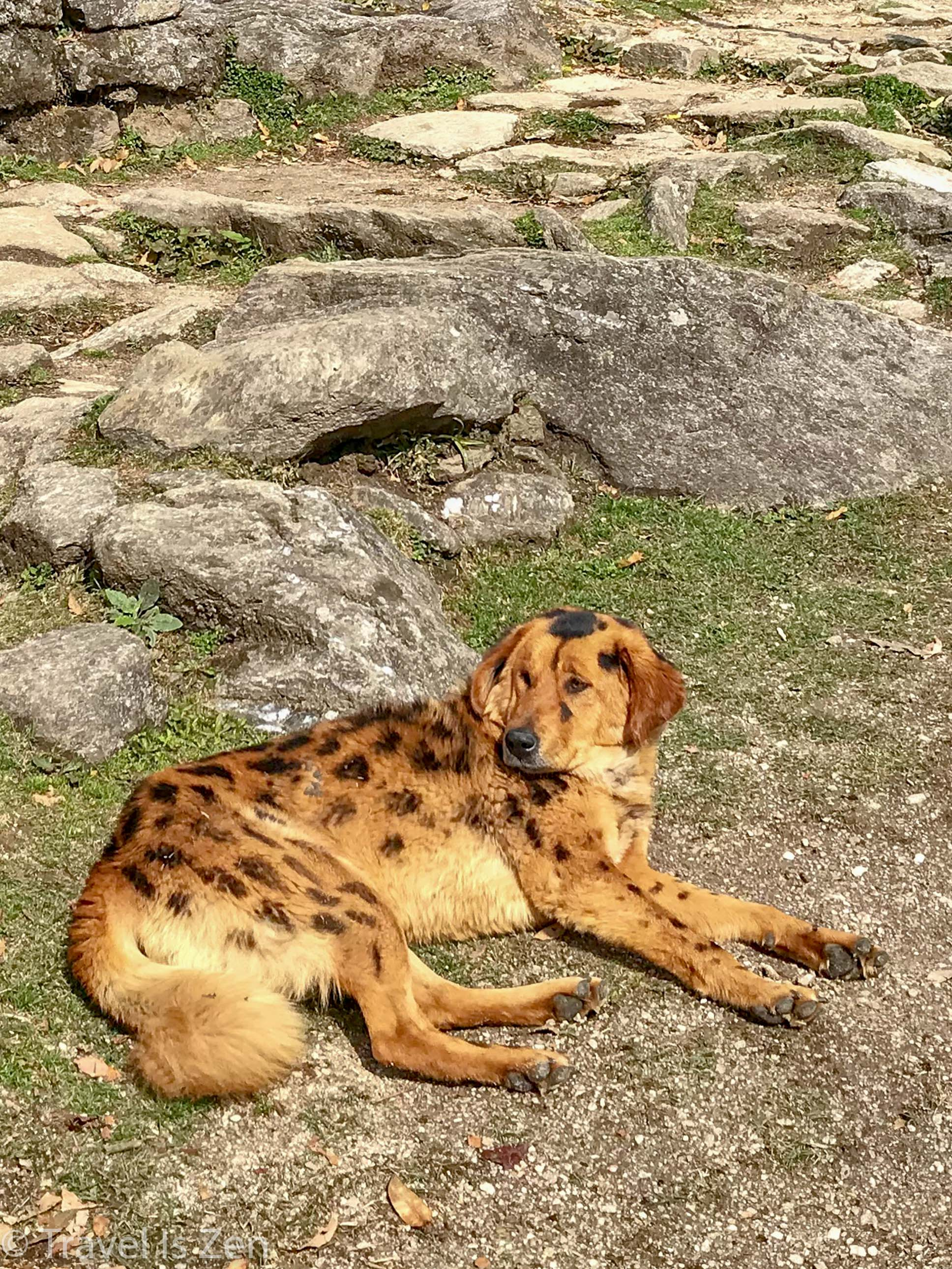 "Nepalese ""leopard"""