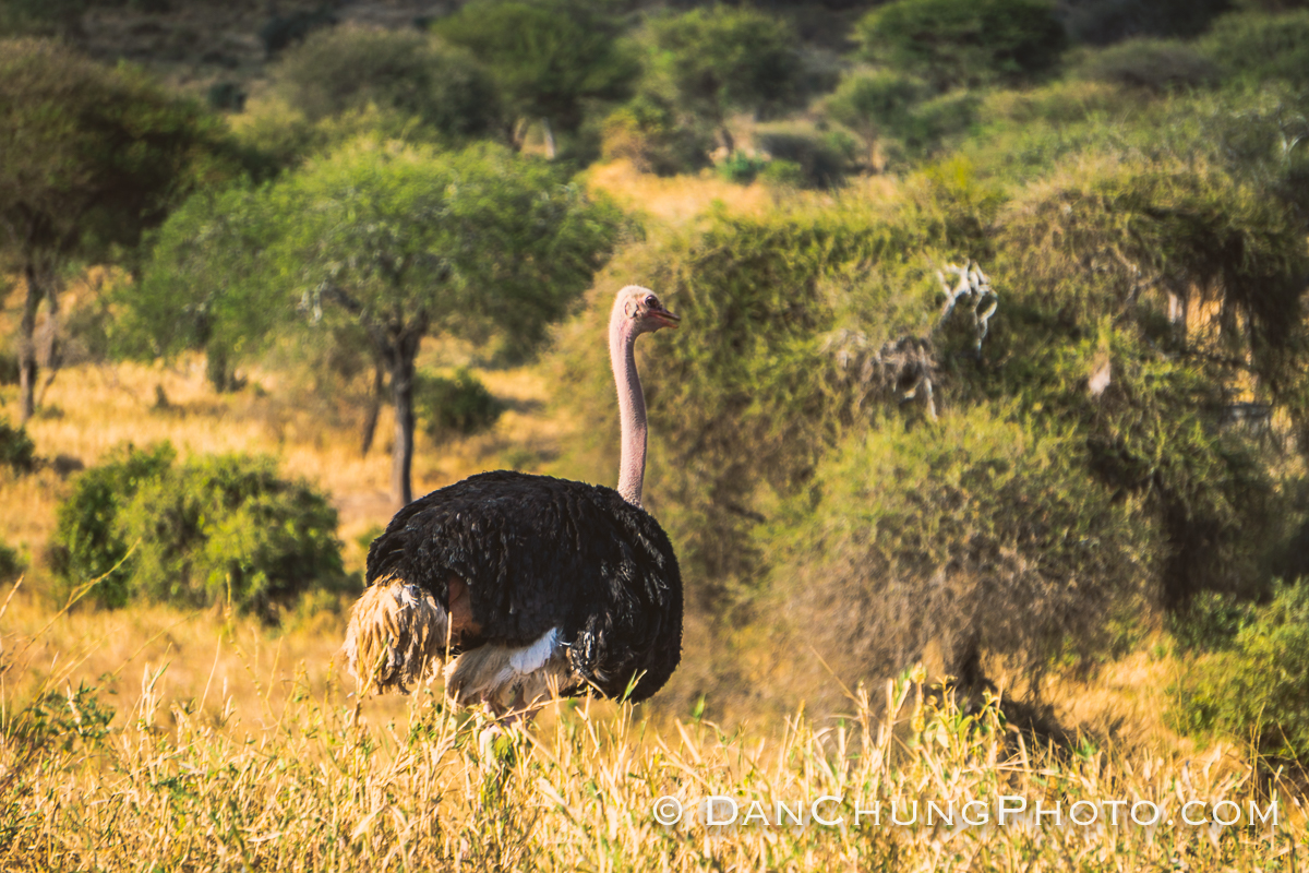 Dan chung ostrich.jpg