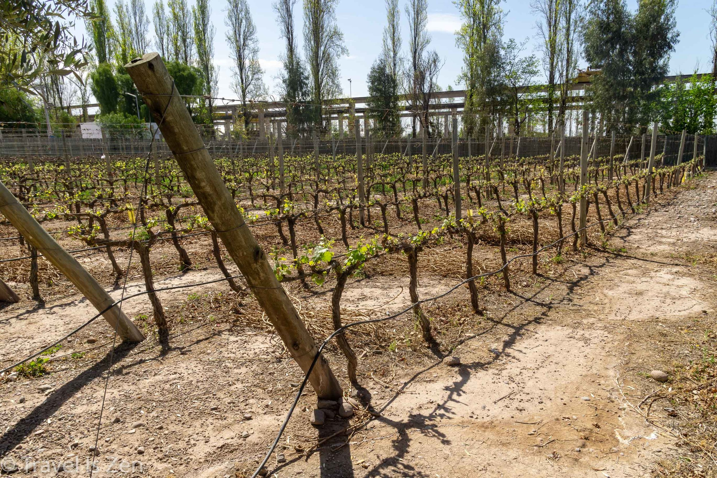 Vineyards in spring, Mendoza Province, Argentina
