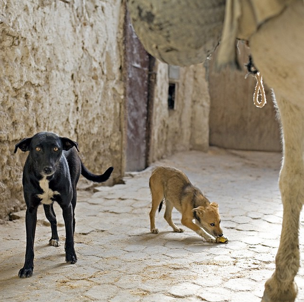 Dogs and mule. Morocco