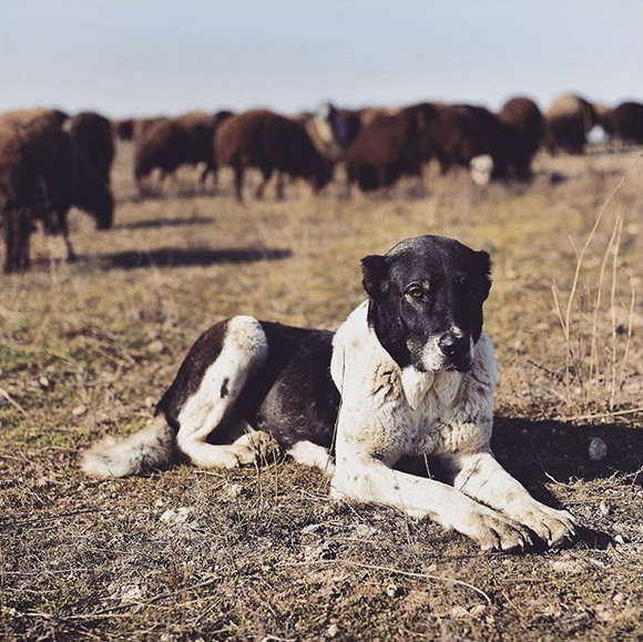 Anatolian Shepherd, watches over a large flock of sheep, Armenia.