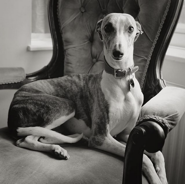 Whippet visitor, England