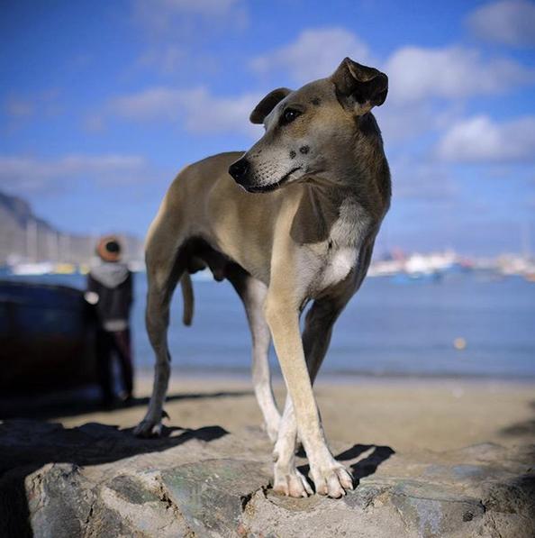 Elegant dog, Cape Verde.