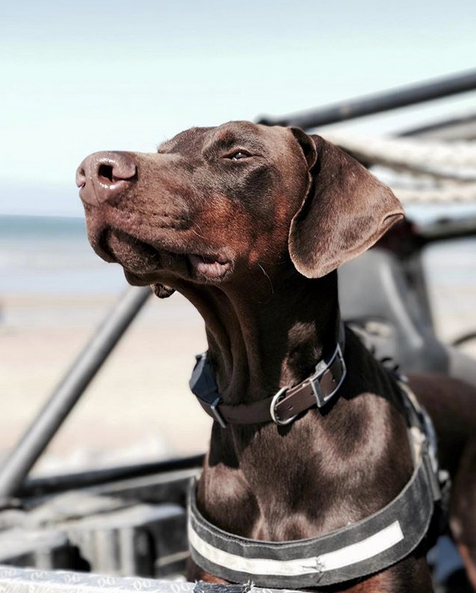Dog smelling the salty breeze, England.