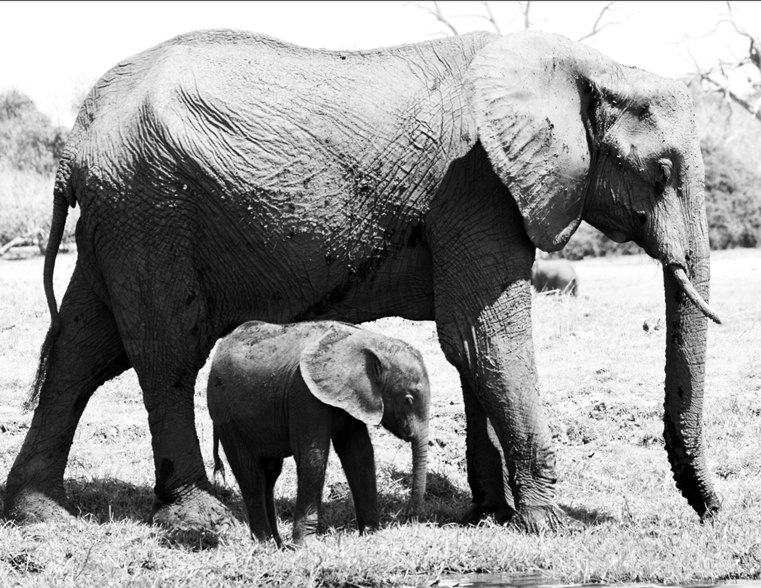 Mom And Calf BandW.jpg