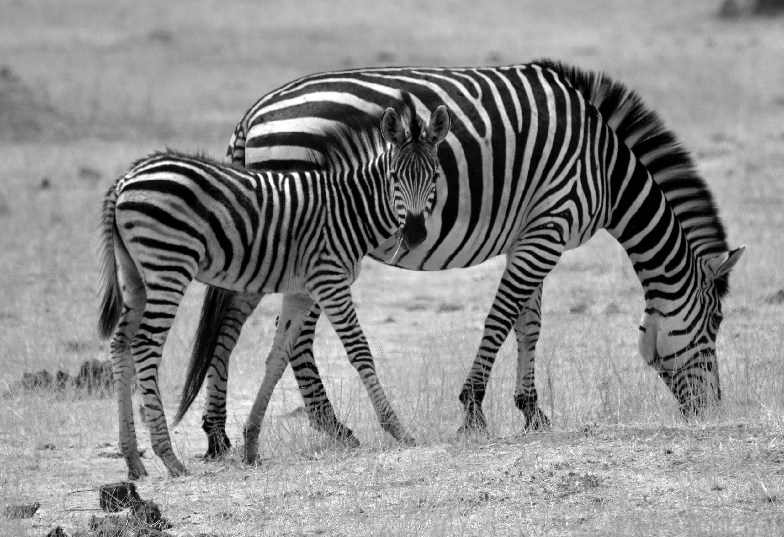 Mom and baby zebra B&W.jpg